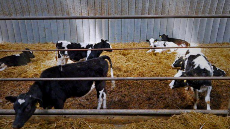Коровник в ангаре